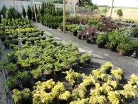 Зеленторг - декоративные растения в Кременчуге